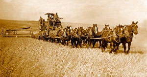 Farmers utilize a team of 14 draft animals to harvest wheat.