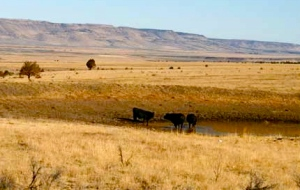 cattle_steens