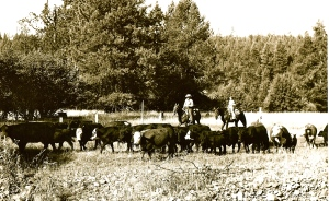 Dad and I Herding Cattle
