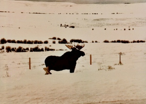 WY. Moose